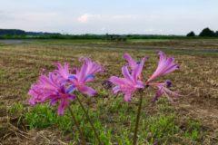 珍しいピンクのヒガンバナ