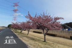 河津桜が見頃です!