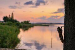 手賀沼の夕暮れと蝉
